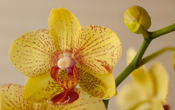 Gelbe Phalaenopsis